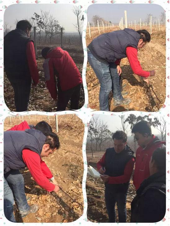 葡萄剪枝与埋土