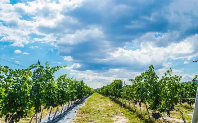 优质葡萄园评选将会给宁夏产区带来什么?